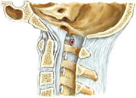 Anatomy of the cervico-occipital joint.