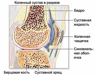 Anatomy of knee joint in normal (ligament, meniscus, articular cartilage).